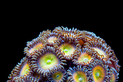 tidal gardens rare exotic corals for sale