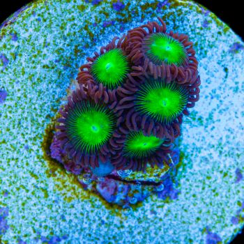 Tidal Gardens - Large Indo Mixed Zoanthids