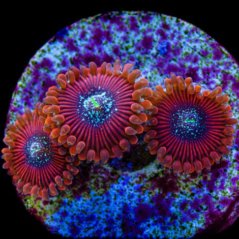 Magician Zoanthids