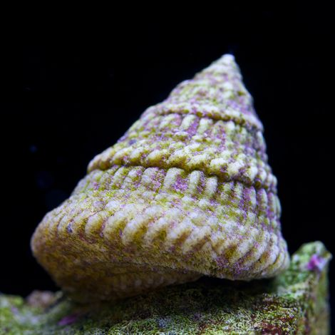 Astraea Turbo Snails